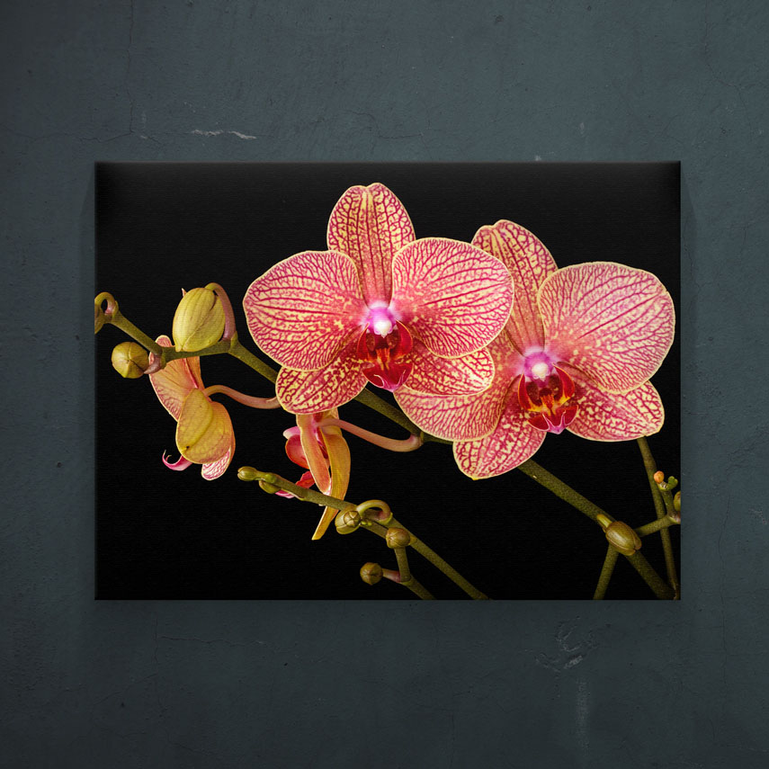 Orhidee Roz- Pepanza.ro