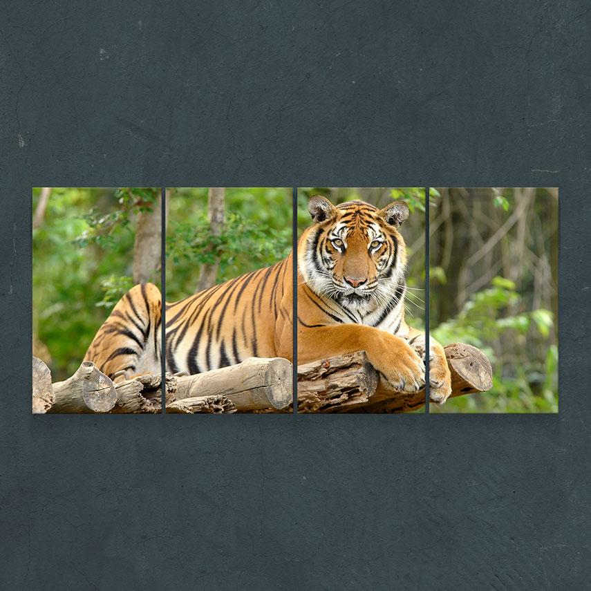 Tigru- Pepanza.ro