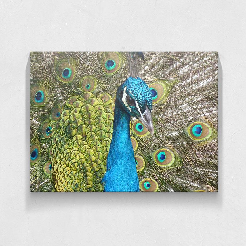 Peacock- Pepanza.ro