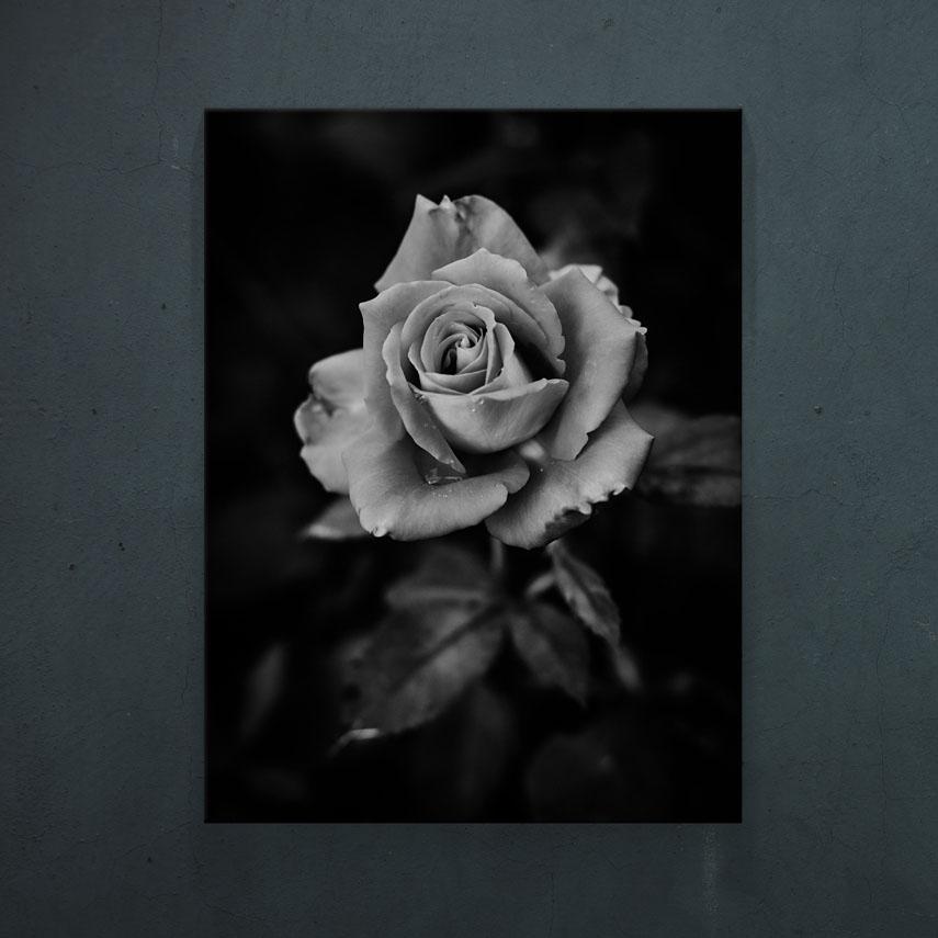 Black and white rose- Pepanza.ro